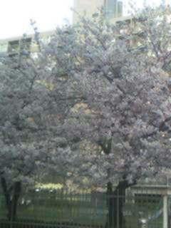 ガーデンハイツの桜