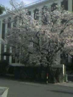 歯科学院の桜