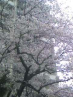 歯科前の桜