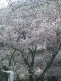 小児科前の桜