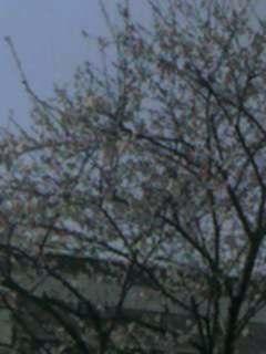 桜の木の団地