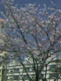 団地の桜2