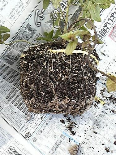 ペパーミントの鉢根詰まり