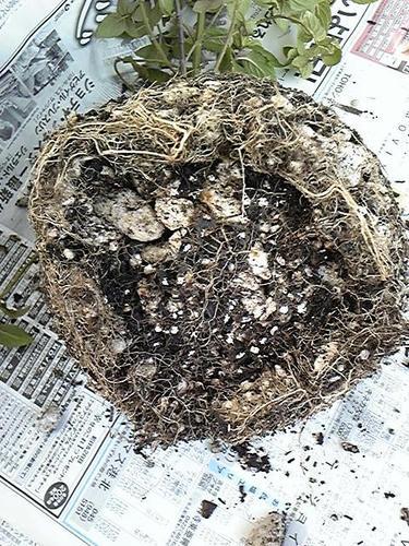 ペパーミントの鉢根詰まり2