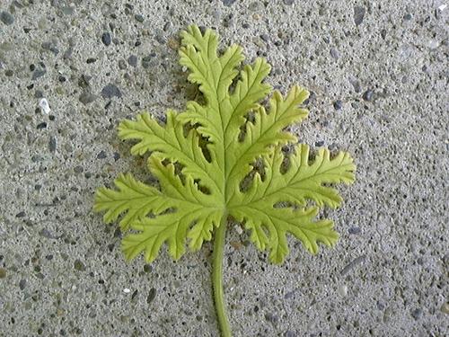 ローズゼラニュームの葉