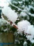 雪の中のライラック