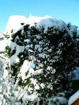 雪化粧の木