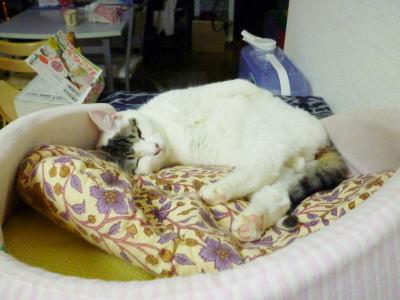 預かり猫のごまだれです。里親様募集中、保護宅東京都大田区です