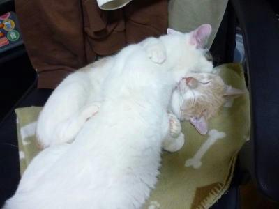 少年猫たちのプロレスごっこ