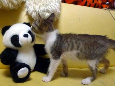 里親募集中の子猫