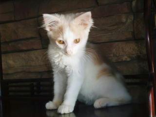 里親募集中の子猫マヨちゃんおすまし顔