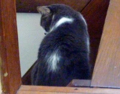 里親募集の猫さん ラブちゃん グレー白のメス