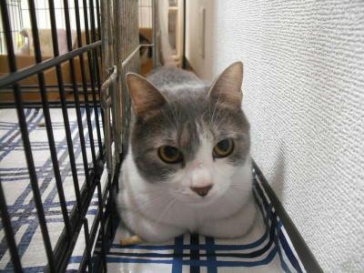 里親募集の猫さん 男爵 グレー白のオス
