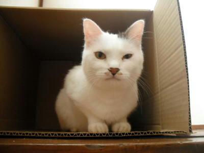 里親募集の猫さん ゴマ 白に黒班のオス