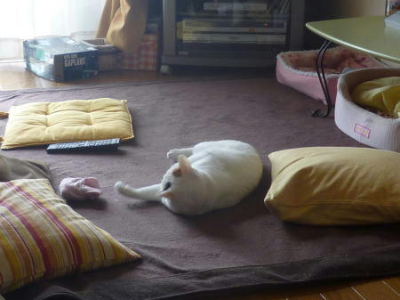 里親様募集中の猫