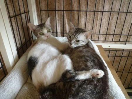 里親募集中の姉妹猫