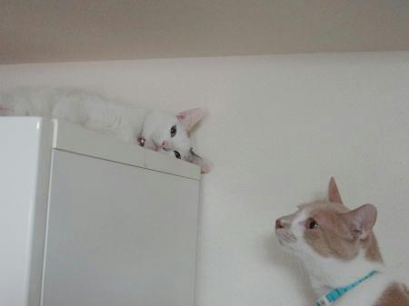 棚の上でまったりするすあまと何かを狙っているキラ