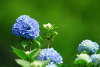 azisai_blue.jpg