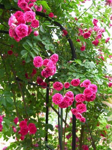 庭の美しいバラ