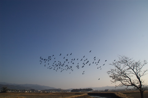 鳥の群れとはばたき