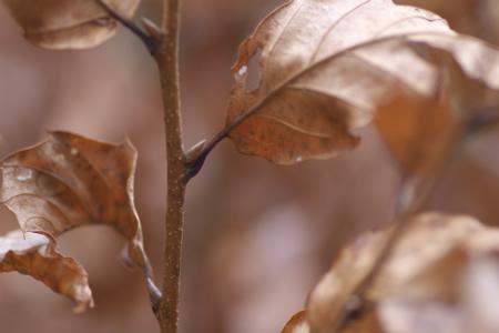 枯れ葉も彩る茶木