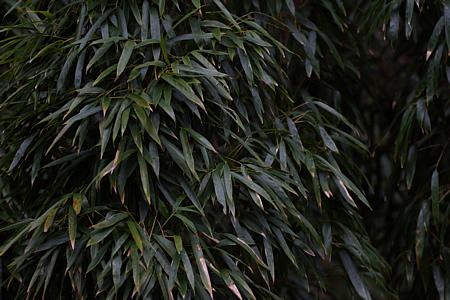 笹の葉わさわさ