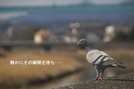 鳩、飛ぶ前