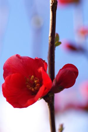 風に揺れる紅い花