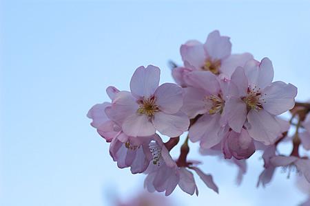 桜咲く・・・ちょっとずつ