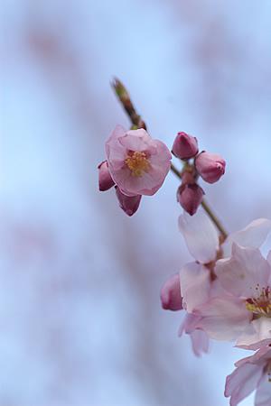 桜満開はまだこれから・・・