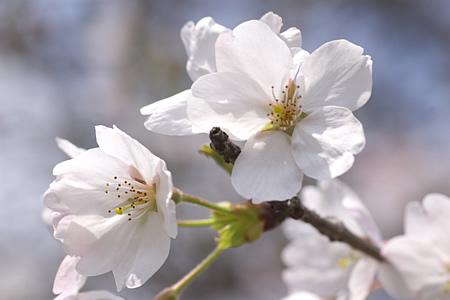 高知にも桜が満開中です。