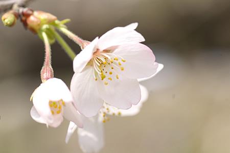 桜の花びら薄紅色