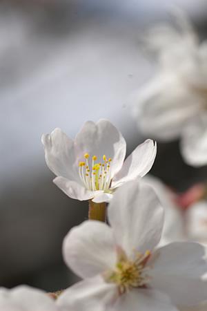 ひょっこり桜咲く