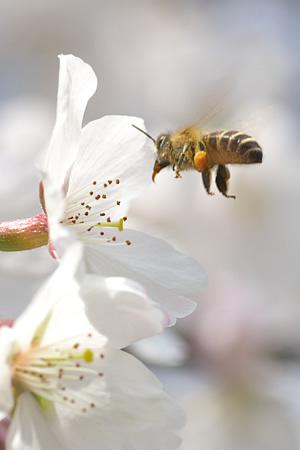 桜の蜜をミツバチが集めております。