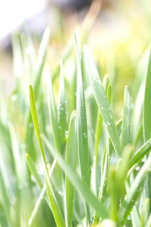 朝の光に溶ける露草