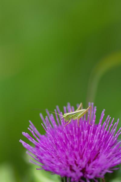 花に滞在バッタ