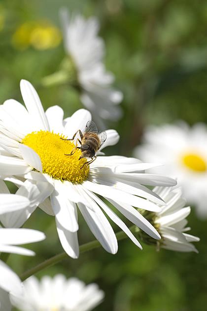 花の蜜、吸うてまんねん。