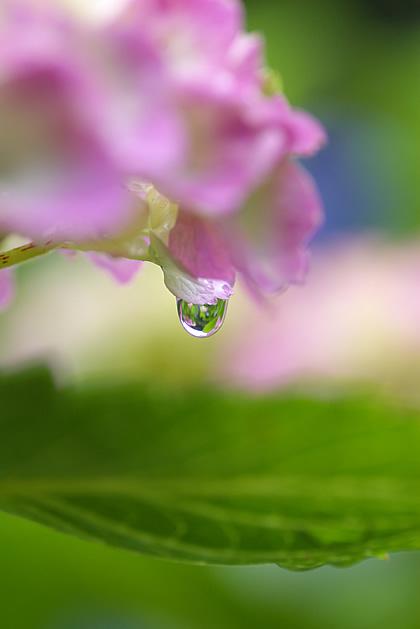 雨上がり滴DOME<紫陽花.BLOG>