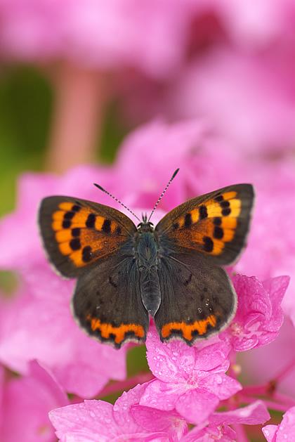 紫陽花の桃色吐息な絨毯に・・・