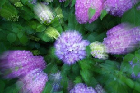 紫陽花ズーム