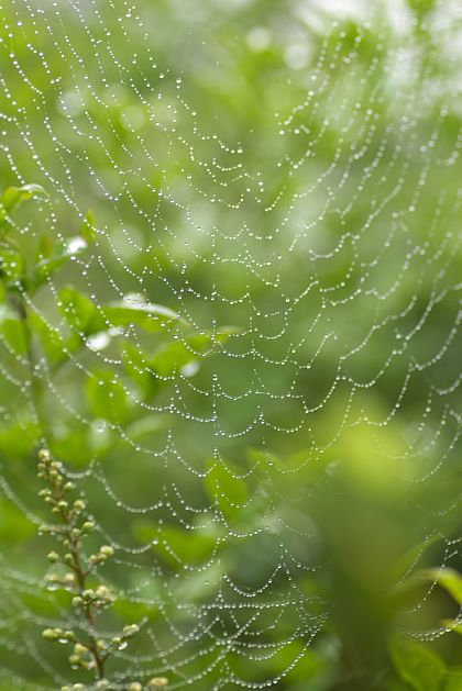 朝露糸のカーテン