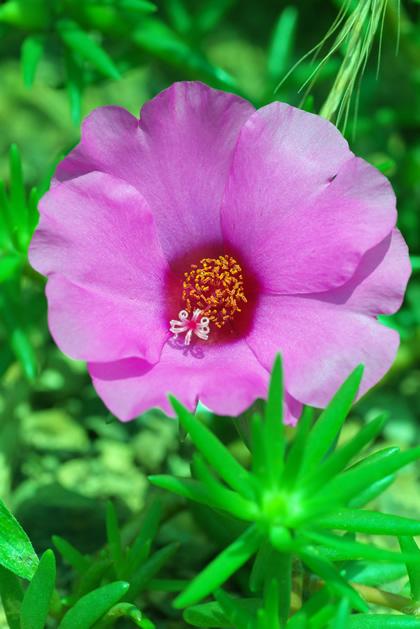 横浪黒潮ラインに咲いてた花:ピンク
