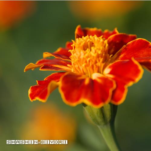 オレンジの花①