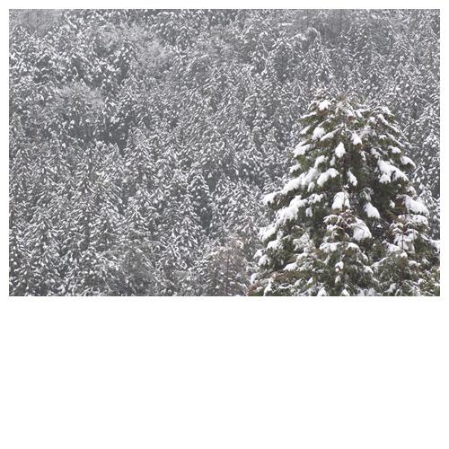 杉の木にモリモリ雪が・・・