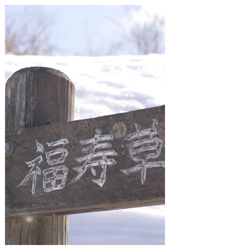 大豊町(高知県)の福寿草