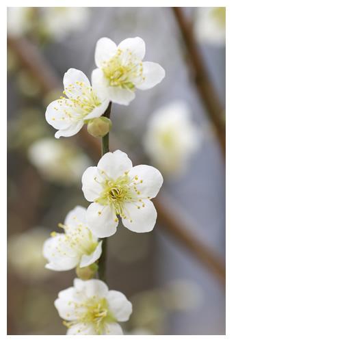 春の足音。桜か梅か?
