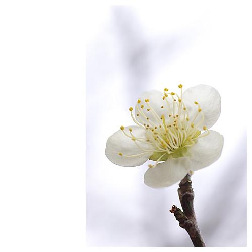 春の足音。光に透ける白の花びら