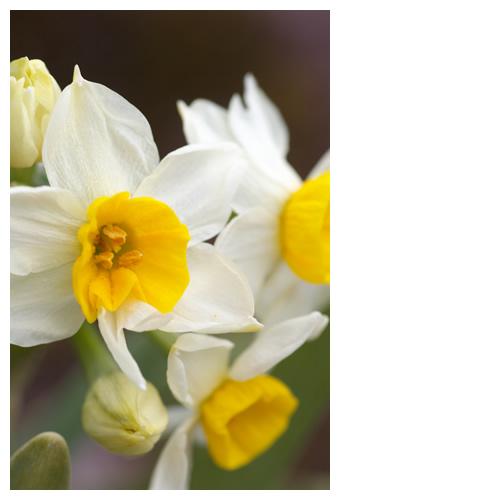 水仙(スイセン):白い花びらと黄色ど真ん中
