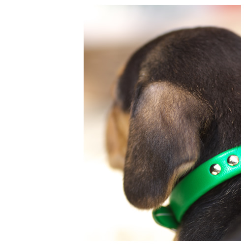 ビーグル犬:ルートの後頭部