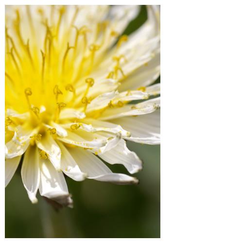 白い蒲公英(タンポポ)真ん中黄色い